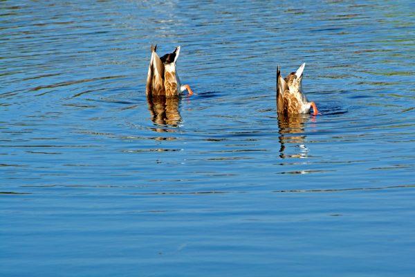 Darlene Roker The Art Of Synchronized Swimming Photo On Aluminum 12x18 2